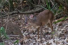 Red Brocket Deer Barking (Barbara Evans 7) Tags: red brocket deer barking pantanal brazil barbara evans7