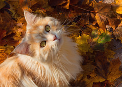 Linus in the leaves (FocusPocus Photography) Tags: linus katze kater cat chat gato tier animal haustier pet bltter leaves laub foliage herbst autumn fall
