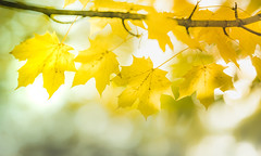 Autumn Gold - Seasonal Colours 7 (Dhina A) Tags: autumn fall colourful color colours seasonal tree foliage leaves leaf yellow gold sony a7rii ilce7rm2 a7r2 samyang 135mm f20 f2 samyang135mmf20 bokeh bokehlicious smooth soft