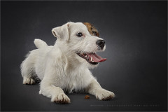 It's mine (Marijke M2011) Tags: dog dogportrait terrier jackrussellterrier animal pet petportrait cute love huisdier hond hondenportret indoor studio studiolightning friend commercial