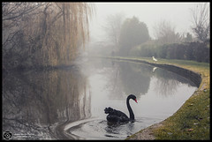 The black Swan ...Burton on Trent December 2016 (annabulka) Tags: annabulka art annamarijabulka anawesomeshot amazing artisawoman beautiful best beautifull black colour contrast dark darkstyler expresion experiment flickr fantastic fine fauves greatbritain glamour lonelyplanet love light landscape mywinners nature natural nice nationalgeografic outdoor photography photo people studio999 shadow shot studio999art show travel tourist turist travels tourism trip tree trees uk wildlife z burtonontrent
