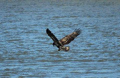 Conowingo Dam ~ Juvenile Bald Eagle (karma (Karen)) Tags: conowingodam maryland harfordco birds baldeagles rivers susquehannariver