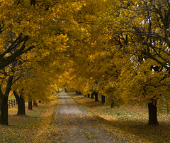 Fall in Ontario (Ali Parandeh) Tags: fall autumn leaf leafs yellow gold tree landscape forest canada ontario nikon fullframe ff d610 prime 50mm 18d garden trees color colors scenic toronto full frame coulour couleur orange colorfull