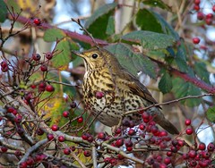 song thrush (6) (Simon Dell Photography) Tags: thrush mistle bird nature detaile macro close up sunlight red berrys festive image photo castleton derbyshire peak district uk britain country side valley hope national park high 2016 simon dell photography sheffield england views old new pics pictures winter autumn