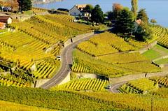 Autumn in Lavaux (oobwoodman) Tags: switzerland suisse schweiz vaud vignoble vineyards vigne vin vignes wine wein rebe lakegeneva lake lman lac lausanne leman lavaux grapes raisins trauben genfersee autumn automne herbst chenaux cully