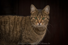 mijn kat  / my cat (nature photography by 3620ronny.be) Tags: cat kat huisdier zoogdier zoogdieren animals animal