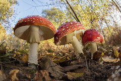 Fly Agaric (Daniel Trim) Tags: fungi mushroom autumn macro wide angle sigma 15mm f28