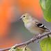 DSC_0482.jpg American Goldfinch, UCSC Farm