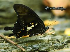Butterfly Peeing & an Ant wants it... (alimalmunzur) Tags: butterflypeeinganantwantsit thebutterfly butter butterfly canon canon650d canon70200f28 canon70200mm an ant bangladesh beautifulbangladesh