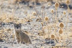 08-Botswana_2016 (Beverly Houwing) Tags: africa botswana desert kalahari makadigkadipans saltpan yellowmongoose
