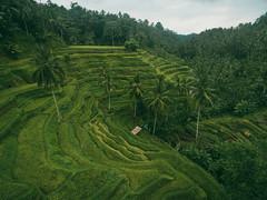 Tegalalang Rice Field, Ubud, Bali (Your.Meal) Tags: tegallalang bali indonesia id kutaselatan sukasada kintamani yourmeal island drone dji phantom beach nusadua waterblow wave waterfall dreamland ricefield mount batur explorebali explore nature