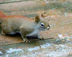 Little Red Ninja (tpaddison1) Tags: nature squirrel fiesty ninjamoves fearless
