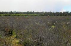 Dobaderry Swamp (jeans_Photos) Tags: dobaderryswamp utriculariaviolaceae carnivorous westernaustralia wandoonationalpark