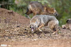 golden jackals, wilder Goldschakal, Canis aureus syriacus @ Tel Aviv, Israel 2016, November, urban nature (Jan Rillich) Tags: goldschakal golden jackal canis aureus commonjackal asiaticjackal reedwolf canisaureussyriacus living life tier goldenjackal wilder syriacus yarkon park telaviv israel 2016 urban nature ramatgan 5dmarkiii pup offspring young welpe family familie pack november morning morgen fight kampf drohung threaten threatdisplay aggression aggressive encounter opponent gegner dominance frighten jan rillich janrillich picture photo photography foto fotografie eos digital leipzig germany canon canon5d 2016urbannature