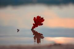 Double Vision (marionrosengarten) Tags: oakleaf reflection double water blue sun light shining lake beach sand blatt eichenblatt reflektion spiegelung mirror mirroreffect nikon wellen verzerrt waves blurredreflection nikon50mmf18 streaks schlieren gegenlicht backlight