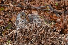 Gathering acorns (dbifulco) Tags: animal easterngraysquirrel fallfoliage ground leaves nature newjersey nikkor300f4pfed rodent wildlife yard