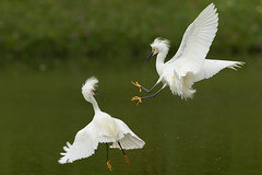 Attack from above (william_lian) Tags: snow egret fight bird flight