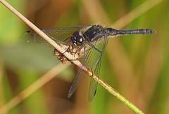 2016_09_0999 (petermit2) Tags: blackdarterdragonfly blackdarter dragonfly thornemoors thorne moors humberheadpeatlands humberhead peatlands sssi siteofspecialscientificinterest doncaster southyorkshire yorkshire