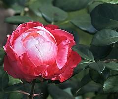 colourful rose (happy new week) (sabrina. G) Tags: gartensommer makro rose zweifarbig pink weis ngc npc