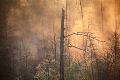 La forêt d'or (Golden Forest) (Joanne Levesque) Tags: explore20161205 valdavid matin morning forêt forest arbres trees marais marsh lumière light brume mist laurentides quebec canada nikond90