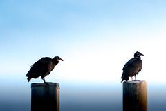 Black Vulture Re-Volt (Michael Bateman) Tags: butler newjersey unitedstates us accipitriformes bird newworldvultures wildlife black vulture new world vultures ioc birds by order v52 2015 bateman michael photography michaelbateman