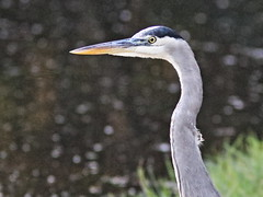 Great Blue Heron portrait 20161205 (Kenneth Cole Schneider) Tags: florida miramar westbrowardwca