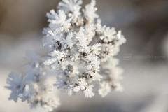 sunday morning 04.12.2016 -p4d- 016 (photos4dreams) Tags: sundaymorning04122016p4d winter photos4dreams p4d photos4dreamz photo rauhreif frosty rime hoarfrost walk sunny sonnenschein sonne