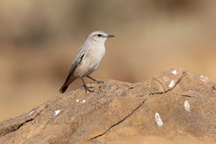 Red-tailed Wheatear - Oenanthe chrysopygia (Roger Wasley) Tags: wheatear oenanthe chrysopygia bird wheatears great rann kutch that desert gujarat india indian salt marsh rusty red tailed persian afghan
