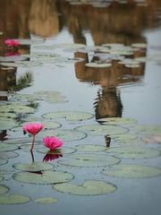 Reflet de sukhothai,Thaïlande (schneider_sebastien) Tags: thailand sukhothai reflet lotus asie asia bouddhiste bouddha bridge pink rose miroir panasonic travel holidays flowers fleur thailande tz20 lumix worldimages worldwireimages reflection