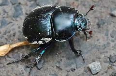 Bug (Hugo von Schreck) Tags: hugovonschreck macro makro insect insekt outdoor bug käfer breitenborn hessen deutschland canoneos5dmarkiii