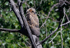 Great Horned Owl not long from the nest (1krispy1) Tags: raptors owls greathornedowl coloradobirds