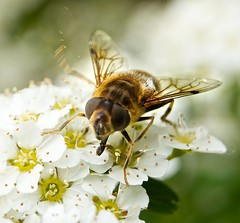 Shake a leg! (allertadele) Tags: nature insect bees insects