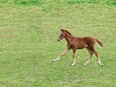 pferde (Eerika Schulz) Tags: horses pferde fohlen