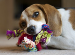IMG_8154 (gemzap) Tags: dog pet beagle puppy