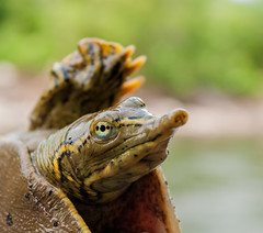 Eastern softshell