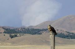 45097_4 (ralphsplitter) Tags: life county wild bird animal hawk feathers idaho camas
