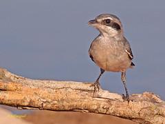 Alcaudón real o alcaudón sureño (Lanius meridionalis) (eb3alfmiguel) Tags: real aves alcaudón insectívoros