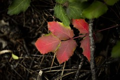 """""""It's the Deep breath before the plunge"""" (Alan Szalwinski) Tags: autumn fall colorado blueberryleaves turningcolors thedeepbreathbeforetheplunge canon7d"""