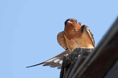 Barn Swallow (arthurpolly) Tags: usa holiday mountains bird nature canon eos wildlife american elements z swallow avian 50d 5photosaday flydrive passionphotography abigfave platinumphoto flickrdiamond unforgettablepictures