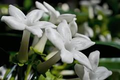 Stephanotis - Elegance (Paul Sibley) Tags: flower photoaday nikond60 2013inphotos