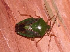 Sheild Bug 1 (Hickatee) Tags: forest rainforest belize wildlife culture toledo jungle puntagorda shieldbugs stinkbugs hickatee toledodistrict hickateecottages hickateebelize hickateepuntagorda