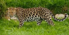 WHF 104 ([ Greg ]) Tags: heritage wildlife foundation leopard bigcat artur bigcats amur panthera headcorn pardus orientalis whf fareasternleopard koreanleopard