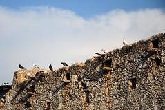 Aves de Kaua (Picardo2009) Tags: birds mexico gulls aves pajaros gaviotas quintanaroo kaua