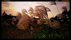 Reed () Tags: china sunset sunlight reed nature landscape nokia wuxi cellphone 1020 carlzeiss lumia pureview nokialumia1020