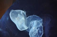 Mduse  (9) (hube.marc) Tags: jellyfish medusa manet t qualle kwal marmoka meduus  meduza    denizanas  uburubur   medza   marglyttur medzk medusozoa stormaneter  slefrenfr smugairlerin hvalspggjur