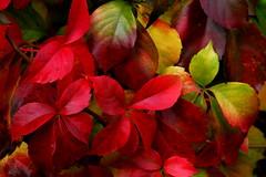 Autumn Colors (annalisabianchetti) Tags: autumn colors leaves autunno colori figlie