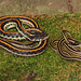 Eastern Gartersnake vs. Orange-striped Ribbonsnake