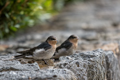 Welcome Swallows 2013-11-15 (_MG_2830) (ajhaysom) Tags: australia melbourne australianbirds craigieburn welcomeswallow hirundoneoxena