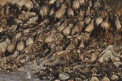 Mara Mayhem! (Rainbirder) Tags: kenya maasaimara bluewildebeest connochaetestaurinus rainbirder