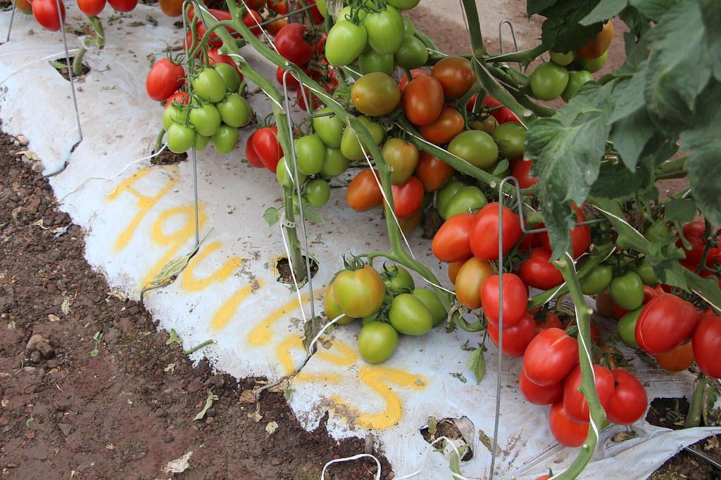 """Képtalálat a következőre: """"tomates verdes y rojos"""""""